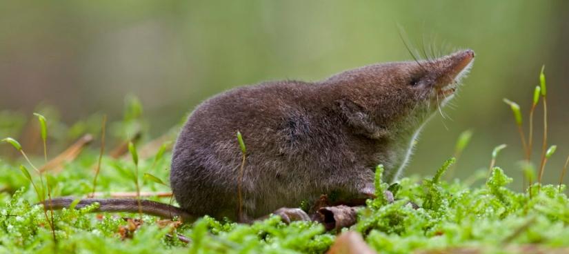 Our-study-species-the-common-shrew-Sorex-araneus.-CREDIT-Karol-Zub
