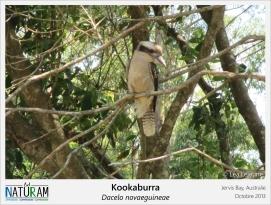 Le kookaburra est un martin-chasseur, de la même famille que les martin-pêcheurs, et vit dans les forêts australiennes. Son cri ressemble au rire d'un singe et a pour cela, il à longtemps été utilisé en bruitage dans les scènes de jungle de plusieurs films, dont certains Indiana Jones, qui ne se passent pas nécessairement en Australie