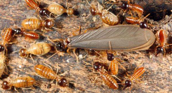 termites3-istock_000009354299_medium-e1508177537734-1498x1000.jpg