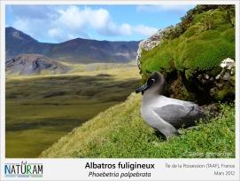 Présent dans l'océan Austral, l'albatros fuligineux à dos clair se reproduit sur les îles isolées et îlots rocheux de l'Antarctique. A l'opposé des manchots, il est plutôt silencieux pendant ses escapades en mer. Cependant, durant les longues parades nuptiales, il émet des hurlements, des gémissements ainsi que des grognements qui accompagnent un ensemble de positions stéréotypées visant à séduire la femelle. Une fois le couple établi, ils sont unis pour la vie.