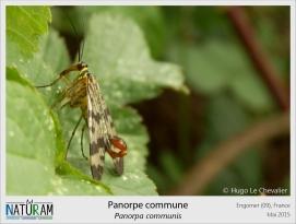 """La panorpe est un insecte commun, mais discret, à l'anatomie singulière. Surnommée """"mouche-scorpion"""", son originalité tient dans son abdomen en forme de dard. On ne retrouve cette structure que chez le mâle, et il n'y a aucun risque de piqûre puisqu'il s'agit en réalité de ses parties génitales. Aucune inquiétude à avoir face à cet insecte, sauf si vous êtes une femelle panorpe !"""