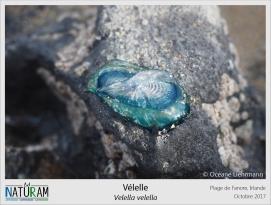 La vélelle n'est pas un seul et unique animal mais toute une colonie de petits individus, appelés polypes, ayant chacun un rôle particulier : un flotteur, un nourricier (formant la bouche centrale), des reproducteurs et des individus tentacules pour se défendre. Ces colonies flottent à la surface de l'eau et sont dispersées parfois sur des milliers de kilomètres sur les océans au gré du vent grâce à leur petite voile oblique.