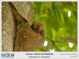 """Comme son nom ne l'indique pas du tout, le lémur volant de Malaisie n'est ni un lémurien, ni un animal volant ! En effet il appartient à l'ordre des dermoptères (signifiant """"ailes de peau"""") dont il n'existe que deux espèces au monde : une en Malaisie et l'autre dans les Philippines. Durant la nuit, ce mammifère frugivore se sert de ses membranes de peau pour planer d'arbre en arbre à la recherche de sa nourriture et s'enveloppe dedans la journée pour dormir paisiblement."""