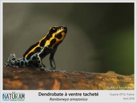 Les grenouilles de la famille des Dendrobates sont connues pour leurs couleurs éclatantes. Ces couleurs sont dites aposématiques c'est-à-dire qu'elles constituent des signaux portés par des espèces venimeuses ou toxiques afin d'indiquer à leurs prédateurs potentiels les risques qu'ils encourent si ils essayent de les attraper. Avec de tels arguments, plus besoin de se camoufler dans la végétation.