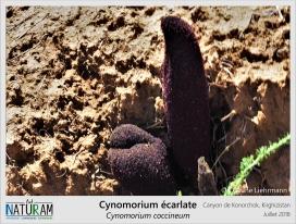 Les naturalistes ont longtemps douté de la nature du cynomorium, ce qui lui valu de nombreux surnoms tels que éponge de Malte, champignon de Malte ou encore bite de chien ! Mais il s'agit en fait d'une plante parasite vivant sur les racines des autres plantes et qui ne dépasse du sol que lors de la floraison. Cette protubérance est donc en réalité une inflorescence portant une multitude de petites fleurs rouges.