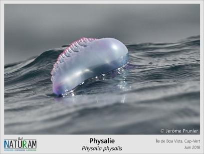 """Cousine des méduses, anémones de mer et des coraux, les galères portugaises sont une espèce de siphonophore occupant non pas les abysses mais la surface des mers. Un """"sac d'air"""", appelé pneumatophore, leur sert de flotteur. Leurs proies se laissent happer par les longs filaments urticants qu'elles laissent pendre sous la surface de l'eau. Certaines espèces sont même capables de bioluminescence pour attirer les poissons vers ce piège mortel."""