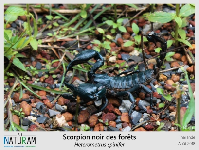 Les scorpions sont de terribles prédateurs, usant de leurs pinces et de leur dard venimeux pour capturer leurs proies. De manière générale, plus les pinces des scorpions seront développées et moins leur venin sera puissant, et vice-versa. Le scorpion noir des forêts n'échappe pas à cette rêgle, malgré sa grande taille et son venin douloureux, il reste bien incapable de tuer un humain.