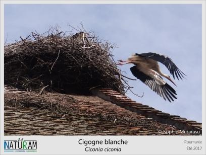 Le nid de la cigogne blanche est très caractéristique et facile à repérer quand il est perché sur les toits ou dans les branches. Mais cet oiseau bien connu a aussi ses secrets. Son syrinx, l'organe qui permet de faire les vocalises, est très réduit. La cigogne est donc incapable de chanter et communique par des claquements de bec dont le son est amplifié par le gosier qui agit comme une caisse de raisonnance. Cela reste néanmoins efficace pour communiquer et protéger son territoire, son nid et ses petits.