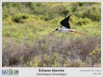 Un intrus parmi les flamands roses au bord de l'étang de Vic, près de Montpellier. Pendant la période de reproduction, les échasses blanches effectuent de nombreuses révérences en agitant leurs ailes et en sautillant l'une à coté de l'autre. Mais elles sont aussi très bruyantes, le chant bien spécifique des mâles ressemble à une sorte d'aboiement ! Vous n'aurez donc pas de mal à les repérer et les observer, on ne peut pas dire qu'elles soient très discrètes.