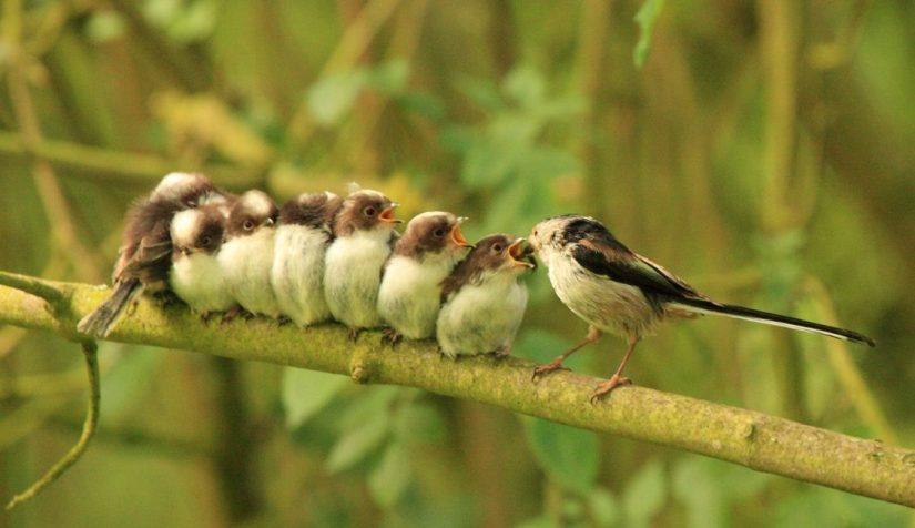 La mésange nounou – Ad Naturam