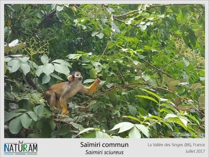 Appelé également singe-écureuil, le saïmiri est très habile. Toujours en groupe, sautant de branche en branche, il descend rarement au niveau du sol. Très silencieux lorsqu'il se sent en sécurité, ses cris se font bruyants et réguliers à l'approche d'un prédateur. Animal totem, il fait l'objet de contrebande et est régulièrement vendu comme animal de compagnie au Pérou et en Colombie.