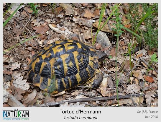 La tortue d'Hermann est la seule tortue terrestre de France, on la retrouve uniquement sur le pourtour Méditerranéen. Cette espèce est extêmement menacée et les populations sauvages subissent d'énormes pressions écologiques. En dépit de l'urbanisation constante qui grignote les espaces naturels où elle vit, elle subit aussi des menaces directes (morsures de chiens, débroussailleuses, feux de fôret, maintien illégal en captivité...). Loin d'être un cas isolé, de nombreuses espèces sur le territoire subissent des pressions similaires mettant en danger la pérennité des écosystèmes.