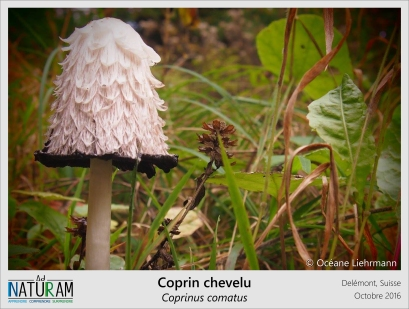 """Plus le temps passe et plus le chapeau du coprin chevelu disparait. Lorqu'il sort de terre, blanc et arrondi, ce champignon peut être comestible. Mais rapidement le dessous du chapeau va commencer à devenir noir et huileux, de bas en haut. Hors de question de consommer ce champignon s'il y a du noir ! Cette étrange liquéfaction des lamelles lui a valu le surnom de """"goutte d'encre""""."""