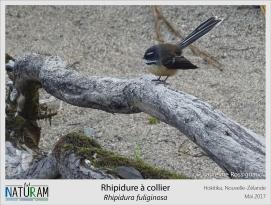 Dans la culture Maori, le demi-dieu Maui attrapa cet oiseau pour qu'il lui donne l'emplacement du feu détenu par Hine-nui-te-po, la déesse de la mort. Il le serra si fort qu'encore aujourd'hui, le rhipidure à collier vole de manière totalement erratique. Mais lorsque Maui s'introduisit chez Hine-nui-te-po durant son sommeil, l'oiseau par vengeance se mit à rire de son chant caractéristique. La déesse de la mort se réveilla et tua Maui. Suite à cette histoire, ce mignon petit oiseau est considéré comme le messager de la mort, rien que ça.