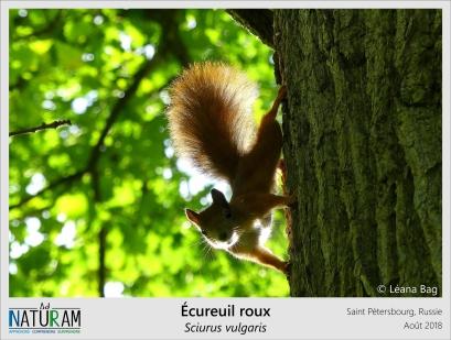 De plus en plus rares à cause de la disparition des vieilles forêts, on retrouve cependant beaucoup d'écureuils roux dans les grandes villes. Les parcs urbains abritent souvent de vieux arbres, très prisés par ces rongeurs arboricoles, tout comme une nourriture abondante et peu de prédateurs. Ainsi, en étant suffisamment vastes, ces espaces verts peuvent devenir le refuge de certaines espèces qui ont vu leur habitat détruit par l'urbanisation, paradoxal n'est-ce pas ?