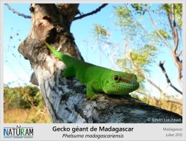 De grandes pupilles rondes typiques des geckos diurnes et des gros doigts permettant de s'accrocher facilement à n'importe quelle surface. Voilà la panoplie du redoutable prédateur insectivore qu'est le gecko géant de Madagascar. Mais paradoxalement, ces caractéristiques font de lui un animal adorable. Très prisé comme animal de compagnie, il est aujourd'hui menacé par un vaste trafic illégal.