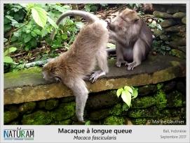 Etre recouvert de fourrure présente certains inconvénients, c'est un habitat parfait pour les parasites de tous poils ! Les macaques vivent en groupe où il est de rigueur de s'épouiller mutuellement. Cela permet à tous les membres du groupe de rester en bonne santé tout en resserant les liens sociaux. Mais comme partout, les dominants et quelques petits mâlins s'occupent peu des autres mais profitent allégrement de ces séances de toilette intime !