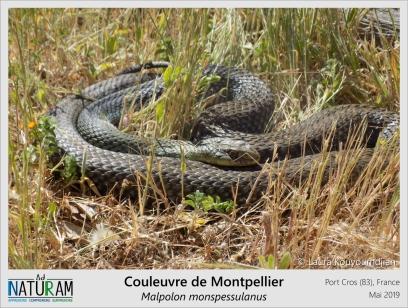 La couleuvre de Montpellier est une espèce strictement méditérranéenne. En plus d'être la plus grande couleuvre de France, c'est la seule à posséder des crochets venimeux à l'instar de vipères. Mais pas d'inquiètude, c'est une couleuvre opisthoglyphe : les crochets à venin sont placés en arrière de la gueule, au début de la gorge. Le rôle de ces crochets n'est pas de tuer les proies mais d'injecter un venin de prédigestion au moment où elle les avale.