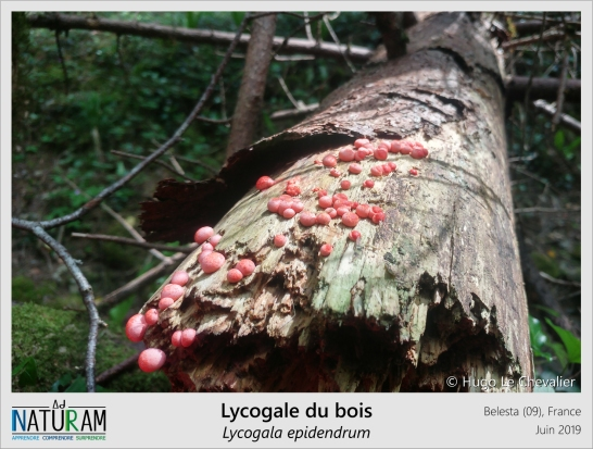Ce que l'on pourrait prendre pour des fraises tagada sont en réalité les strutures reproductrices de la lycogale du bois. Elle fait partie des myxomycètes, des êtres vivants souvent associés à tord avec les champignons. Comme le célèbre blob, les myxomycètes immatures sont sous forme de plasmode, une structure gélatineuse rampant sur le sol. C'est en fusionnant avec leurs congénères qu'ils forment ces petites boules roses dans lesquelles se formeront les spores qui donneront naissance à la génération suivante.