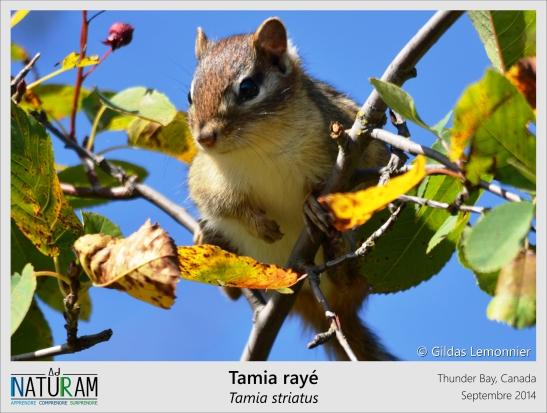 Les célèbres Tic et Tac des studios Disney ont été inspirés par les tamias. Ces petits rongeurs peu farouches d'Amérique du Nord sont en effet bien hardis et espiègles dans leur recherche de nourriture, et n'hésitent pas à s'approcher des humains pour dérober quelques graines. Cependant, contrairement aux personnages de dessins animés, les tamias rayés ne vivent pas dans les arbres mais dans des terriers et en solitaire la majeure partie de l'année !