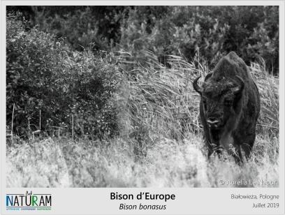 Le Bison d'Europe est le plus gros mammifère terrestre de notre continent: les mâles peuvent atteindre plus de 1 tonne ! Quasiment éteint après la première guerre mondiale, il a été réintroduit à partir d'une dizaine d'individus provenant de zoos. Aujourd'hui, dans la forêt de Białowieża en Pologne, les populations sont prospères. Cette dernière forêt « primaire » d'Europe et les bisons sont menacés par l'exploitation forestière, poussant la Cour de Justice Européenne à prononcer des sanctions. Affaire à suivre !