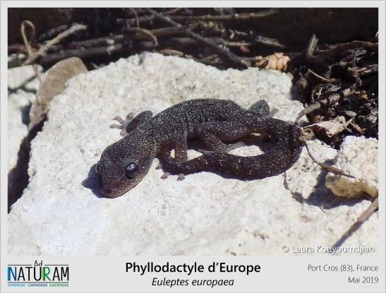 Le plus petit gecko d'Europe se retrouve principalement sur les îles et îlots de la méditerranée occidentale. On l'appelle Phyllodactyle car l'extrémité de ses doigts est élargie et ressemble à une feuille. De manière plus générale, les doigts des geckos sont munis de fines lamelles adhésives leur permettant de grimper et d'adhérer à n'importe quelle surface. Menant une vie principalement nocturne, il est possible de les croiser l'été sur les murs des maisons.