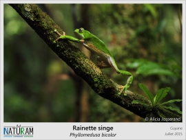 La Phylloméduse ou Rainette singe est une espèce parfaitement adaptée à la vie arboricole. Ses doigts opposables équipés de disques adhésifs lui permettent de grimper et de s'accrocher avec aisance dans les arbres. Vénéneuse, elle sécrète une substance toxique qui éveille la curiosité des scientifiques. Il semble que certains peptides contenus dans son venin pourraient servir d'anti douleur très puissant ou encore d'antibiotique !