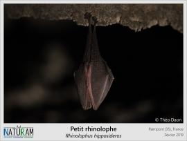 """Le Petit rhinolophe est une espèce de l'ordre des chiroptères, plus communément appelés chauves-souris. Si de nombreuses chauves-souris s'accrochent la tête en bas, celle-ci a la particularité de pouvoir s'envelopper entièrement dans son patagium, ce repli de peau reliant les membres inférieurs aux membres supérieurs, parfois appelés """"ailes"""" à tort. Espèce partiellement hibernante, c'est dans cette position que les individus passeront une grande partie de l'hiver au sein de leurs colonies."""