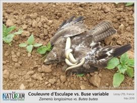 Le serpent et l'oiseau, voila une image qui pourrait parfaitement illustrer une fable de Jean de La Fontaine. Que ne fut pas l'étonnement de cette Buse variable quand ce serpent, complètement à découvert et qu'elle prit pour un repas, se retourna contre elle. En moins de temps qu'il ne faut pour le dire, la Couleuvre d'Esculape pris au piège son agresseur. Les deux ailes immobilisées et plaquées au sol, la buse suffoqua sous l'étreinte de la couleuvre. Bien trop grosse pour lui, le serpent lâcha prise et s'en alla laissant la buse revenir à elle. Moralité : ne jamais considérer un repas pour acquis !