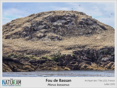 Au large de Ploumanac'h se trouve l'archipel des 7 îles. Parmis elles, l'île du Rouzic est particulièrement reconnaissable : de loin, elle nous apparaît entierement blanche. En se rapprochant, il est facile de comprendre au bruit et à l'odeur, que ce sont des oiseaux : des Fous de bassans. L'archipel présente la plus grande colonie de Fou de bassan de France, avec en 2019, plus de 18 000 couples uniquement sur cette île !