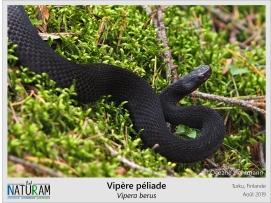 La Vipère péliade est considérée comme une espèce de climat froid et c'est la seule espèce de serpent venimeux présente au nord de l'Europe. Ici, l'individu porte une robe noire assez rare pour l'espèce. Cette coloration résulte d'une mutation génétique provoquant la mélanisation des écailles. Dans les zones où les températures sont basses et l'ensoleillement faible cette coloration peut être un avantage lié au comportement de thermorégulation. Les écailles noires permettent de mieux capter les radiations solaires, et ainsi d'élever et maintenir plus facilement sa température corporelle pour réaliser ses activités biologiques.