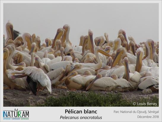 Planeur à l'allure puissante et gracieuse, le Pélican blanc vit en grandes colonies bruyantes et a l'habitude de pêcher en groupe. Les individus nagent côte à côte à la surface de l'eau, chacun pouvant stocker jusqu'à 13 litres de poissons dans leur fameux sac gulaire. Ce bec en forme de poche peut également servir de soufflet pour faire baisser la température corporelle lors de fortes chaleurs.