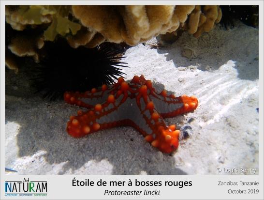 Mais quelle belle étoile de mer ! Cette beauté lui coûte pourtant très cher… Elle est tellement devenue un symbole des côtes coralliennes africaines que les touristes les manipulent souvent sans précaution. Sa pêche et sa vente à des fins décoratives a entraîné un fort déclin de l'espèce ces 50 dernières années. Souvent prisée des aquariums, elle est pourtant incompatible avec beaucoup d'espèces : grande chasseuse diurne, elle se nourrit de coraux, d'éponges, mais aussi d'autres étoiles de mer !
