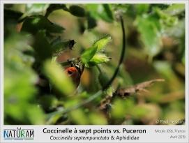 Manque de chance pour ce puceron ! Il se trouve antennes à antennes avec sa plus grande prédatrice : la coccinelle. De la larve à l'adulte, cette dernière se nourrit abondamment de pucerons (également appelés aphides), une seule coccinelle pouvant en engloutir une centaine dans une même journée ! Bien qu'elles soient essentiellement aphidiphages en se nourrissant à 60% de pucerons, elles se nourrissent également de cochenilles, d'acariens, de nectar et débris végétaux.
