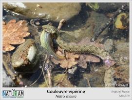 La Couleuvre vipérine est le seul serpent de l'hexagone à se nourrir de poissons. A l'affut, sur un rocher, sa détente lui permet de capturer les poissons qui nagent. Mais cette redoutable chasseuse est aussi une admirable nageuse. Ses écailles ne sont pas lisses mais présentent une légère protubérance permettant de chasser l'eau (à la manière d'un pneu) et elle peut réaliser des apnées de 10 minutes. De part ses motifs dorsaux, elles est souvent confondue avec la Vipère aspic, d'où son nom populaire : l'aspic d'eau.