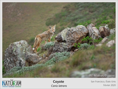 Rencontre matinale fortuite avec ce coyote près du Golden Gate. Bien qu'il soit rare de les apercevoir, les habitants de la ville coexistent avec les coyotes ! Ils sont devenus indispensables puisqu'ils ont remplacé les prédateurs comme le loup et peuvent ainsi avoir un impact positif sur l'écosystème urbain. Par exemple, ils aident au contrôle de population de rongeur en mangeant les spermophiles, les écureuils, les rats... Cette régulation permet ainsi de réduire l'utilisation de rodenticides et autres produits mortels, pouvant tuer d'autres animaux !