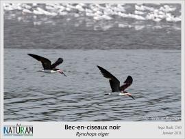 En anglais, le bec-en-ciseau noir porte le nom de Black skimmer, signifiant l'écumeur noir. Il doit son nom à son comportement de pêche qui consiste à écumer l'eau en y plongeant uniquement la partie inférieure de son bec. De cette manière, dès qu'il entre en contact avec un poisson ou un crustacé, il rabat cette mandibule (qui est plus longue que la supérieure) et capture sa proie. Ces oiseaux se nourrissent à deux moments précis : juste après la marée basse et juste avant la marée haute.