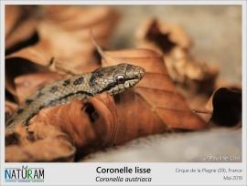 Dans les espèces de serpents présentes en France métropolitaine, les vipères sont vivipares, c'est-à-dire qu'elles mettent bas, et les couleuvres sont ovipares, c'est-à-dire qu'elles pondent des œufs. Mais comme les règles sont faites d'exceptions, la Coronelle lisse est la seule couleuvre du territoire à être vivipare. Après un accouplement de plusieurs heures et une gestation de 4 à 5 mois avant de mettre bas, la femelle donnera naissance à une dizaine couleuvreaux.