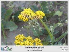 Malgré une ressemblance frappante, ce bel insecte n'est pas un papillon mais un proche cousin des fourmillions, ascalaphes ou autres chrysopes. Adulte, il fréquente les prairies ensoleillées où il se nourrit exclusivement de fleurs, et principalement celles d'achillées. Ses mandibules sont d'ailleurs parfaitement adaptées à ce régime alimentaire, rendant le Némoptère sinué capable de se nourrir à la fois de nectar et de pollen avec une efficacité redoutable. Une particularité plutôt rare chez les insectes !