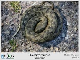 Vipère ou couleuvre ? La couleuvre vipérine, est un serpent qui fait douter jusqu'à l'herpétologue averti. Et pour cause, la technique de défense adoptée par cette couleuvre est le mimétisme. Elle mime le fameux zigzag dorsal et la tête triangulaire de la vipère. Ce sont des signaux aposématiques, avertissant les prédateurs de sa dangerosité, ce qui permet de diminuer le risque de prédation. En les copiant, la Couleuvre vipérine leurre les prédateurs et elle pousse le vice de la ressemblance un peu plus loin, en calant la fréquence de son sifflement sur celle de la Vipère aspic. Sacrée comédienne !