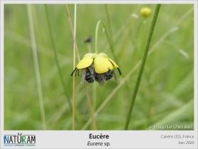 Les abeilles solitaires ne sont pas si seules que ça ! Quand vient le soir, il est courant pour beaucoup d'espèces de se rassembler dans un endroit favorable pour passer la nuit. Ces mâles d'Eucères, que l'on reconnait à leurs grandes antennes qui dépassent de la fleur, ont choisit de se blottir à l'abri des pétales. Les fleurs des prés servent ainsi de dortoir en plus d'être des sources de nourriture. Comme quoi, c'Eucère à plein de choses de laisser pousser les herbes hautes !
