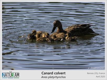 """Chez plusieurs espèces d'oiseaux, les jeunes se mettent rapidement à suivre leurs parents. Ce comportement est mis en place suite au phénomène appelé """"impression (ou empreinte) filiale"""", qui a lieu peut après l'éclosion et pendant lequel le jeune crée un lien fort avec le premier objet mobile qu'il voit. Dans la nature c'est le plus souvent ses parents mais certains oisillons ne font pas les difficiles ! Konrad Lorenz, qui a étudié ce phénomène, est notamment devenu la """"mère"""" de plusieurs oisons (petits de l'oie) qui le suivaient comme son ombre."""