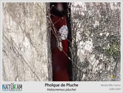 La protection maternelle existe chez beaucoup de familles d'araignées. Chez les Pholcidae, les femelles rassemblent leurs œufs en grappes et les accrochent à leur bouche comme on peut le voir chez cette femelle de Pholque de Pluche. Avant la ponte, les femelles de cette espèce construisent une toile en forme de dôme et y resteront 4 semaines sans se nourrir pour s'occuper de leur progéniture. En mères protectrices, les femelles restent avec leurs petits après l'éclosion jusqu'à ce qu'ils muent et se dispersent. Avec tout ça on a envie de dire qu'une chose : t'as de beaux œufs tu sais ?