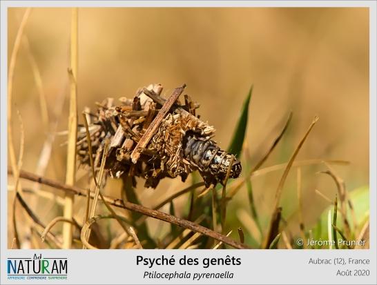 Les Psychés sont de petits papillons très discrets : les chenilles ont la particularité de construire des fourreaux avec des morceaux de végétaux afin de se camoufler des prédateurs. L'architecture de ces abris varie beaucoup entre les espèces, que l'on dénombre par centaines autour du globe. Une autre particularité de cette famille est que les femelles, contrairement aux mâles, ne développent pas d'ailes après la métamorphose : elles restent ainsi dans leur fourreau, qu'elles fixent sur un support. Elles n'en sortent que pour la rencontre avec un mâle, puis une fois fécondés, pondent leurs œufs dans leur ancien fourreau afin qu'ils s'y développent à l'abri.