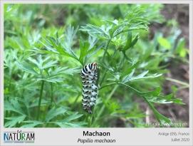 Cette chenille colorée est plutôt commune dans les potagers, où elle se nourrit d'Ombellifères tels que les carottes, le persil ou le fenouil. Ses couleurs criardes, souvent signe de toxicité, lui permettent de dissuader les éventuels prédateurs et augmentent ses chances de survie jusqu'à la formation de sa chrysalide. Après quelques mois d'attente, cette dernière donnera naissance à un magnifique papillon : le Machaon.