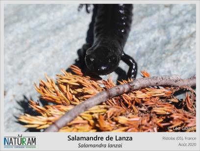La vaste majorité des amphibiens dépendent de l'eau pour leur reproduction, que ce soit pour y pondre leurs œufs ou, a l'instar de la Salamandre tachetée, y mettre bas leurs larves. Certaines espèces cependant mettent bas des juvéniles déjà métamorphosés qui peuvent vivre sur terre. C'est le cas de la Salamandre noire et de la Salamandre de Lanza, sa cousine endémique des Alpes cottiennes. Bien qu'elles ne puissent vivre que dans des environnements très humides, ces salamandres sont parmi les rares amphibiens à s'être affranchi du milieu aquatique pour la reproduction.